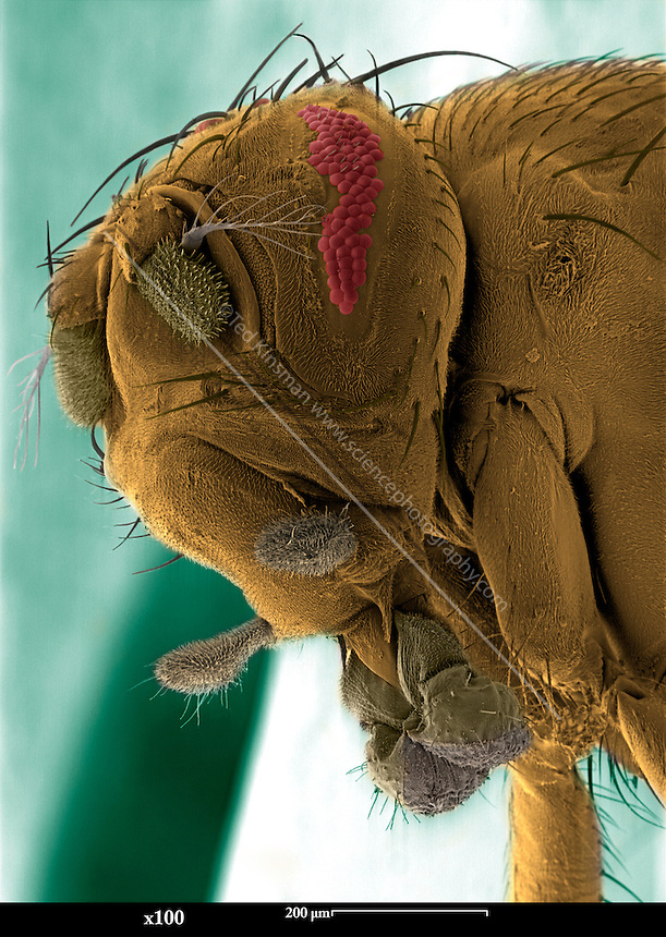 SEM of a mutant fruit fly. Scanning Electron Micrograph (SEM) of the head of a mutant fruit fly (Drosophila melanogaster). This mutant has abnormal bar shaped eyes ? they are smaller than normal and are due to the ?bar mutation?.  Fruit flies are widely used in genetic experiments, particularly in mutation experiments, because they reproduce rapidly and their genetic systems are well understood.