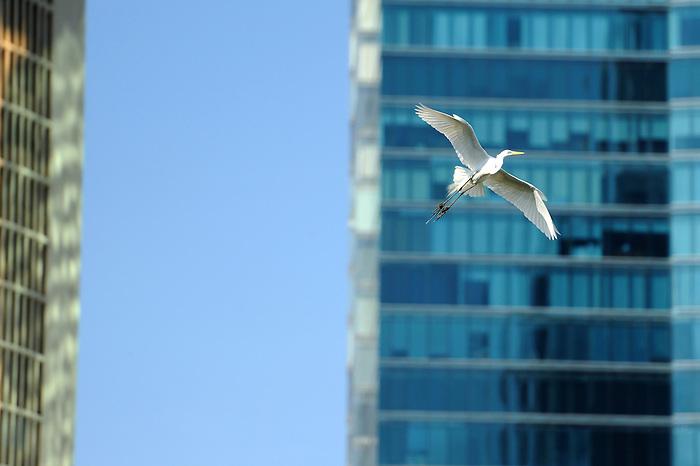 Garza en Punta Pacífica / aves de Panamá.