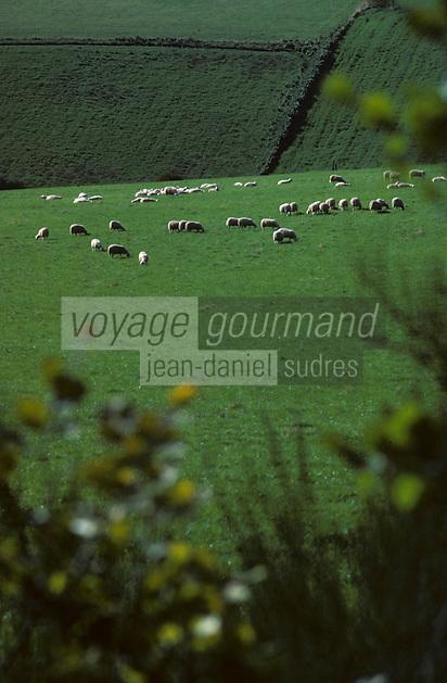 Europe/France/Limousin/19/Corrèze/Plateau de Millevaches/Env de Meymac : Moutons en pturages