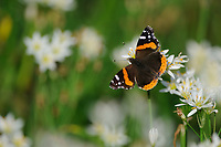 Red Admiral (Vanessa atalanta), adult on Crow poison (Nothoscordum bivalve), Palmetto State Park, Texas, USA