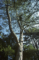 Bhutan Pine Pinus wallichiana (Pinaceae) HEIGHT to 35m  <br /> Narrowly columnar, becoming shapeless with age. BARK Greyish brown and resinous. BRANCHES Lower ones spreading, upper ones ascending. LEAVES Needles, to 20cm long and 7mm wide, supple with finely toothed margin. REPRODUCTIVE PARTS Cones long, cylindrical, to 25cm long, growing below shoot, light-brown and resinous. Cone scales wedge-shaped and grooved, thickened at tip. Basal scales are sometimes reflexed. STATUS AND DISTRIBUTION Native to Himalayas, planted here for ornament.