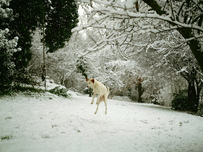 A dog catching a snowball in a garden in Kent, England.<br />