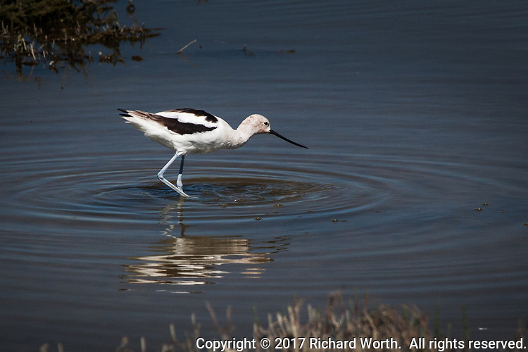An American avocet prowls the waters looking for food at the Hayward Regional Shoreline.