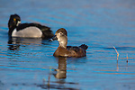 Breeding pair of ring-necked ducks