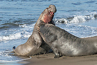 Northern Elephant Seal - Mirounga angustirostris - fighting males