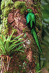 Resplendent Quetzal, La Amistad National Park, Panama