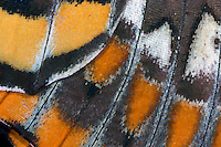 Erdbeerbaumfalter, Erdbeerbaum-Falter, Flügelzeichnung, Schmetterlingsflügel, Charaxes jasius, Two-tailed Pasha, Foxy Emperor, La Nymphale de l'arbousier, Pacha à deux queues, Jason