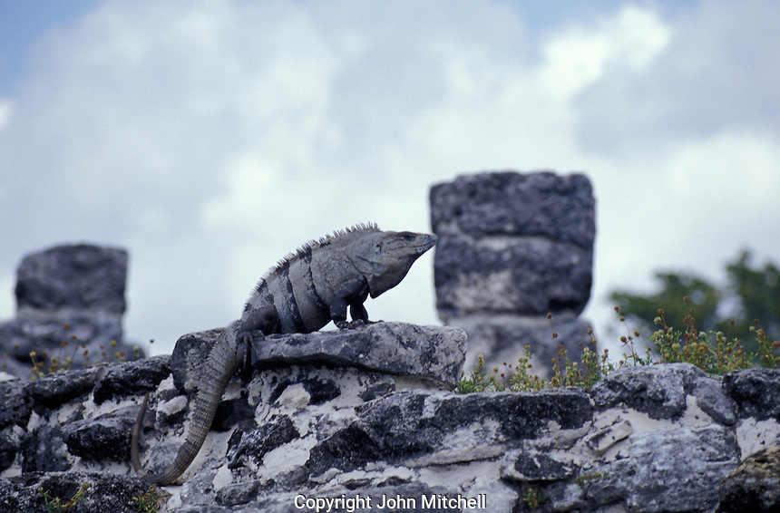 An iguana at the Mayan ruins of El Rey with Hotel Hilton in background, Cancun, Mexico
