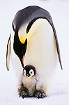 Emperor penguin and chick, Antarctica