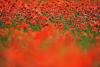 Poppy fields, Papaver sp, Lake Kerkini, Macedonia, Greece