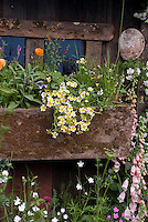 Windowbox of flowers including pot herb edible Calendula, viola, Spanish lavender Lavandula stoechas, Limnanthes douglasii, white climbing roses (Rosa) against barn wall and window