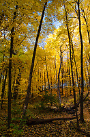 A canopy of yellow maple leaves turns the forest gold in autumn, Hammel Woods Forest Preserve, Will County, Illinois