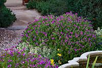Pea shrub Polygala sp. ? flowering in Arlington Garden, Pasadena