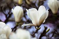 "Magnolia denudata Yulan magnolia ""Jade Lily"" white flowering deciduous tree blossoms in San Francisco Botanical Garden"