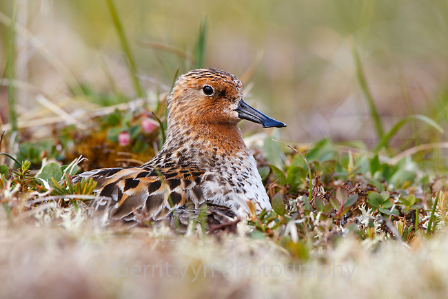Adult male Spoon-billed Sandpiper incubating a nest.  This is the only nest the team found that was not collected for the captive breeding program and the first nest ever filmed. Chukotka, Russia. July.