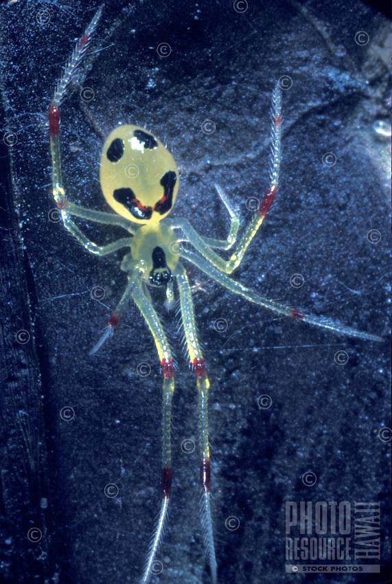 Happyface spider (Theridion grallator), native, Mt. Kaala, Oahu