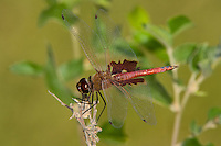 388550003 a wild male red saddlebags dragonfly tramea onusta showing the brown saddlebag design on each hind wing perched on a branch in bentsen rio grande valley state park texas