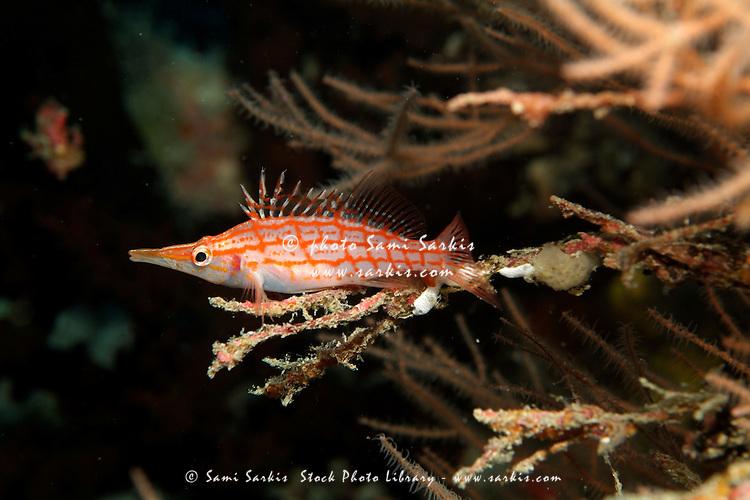 Longnose Hawkfish (Oxycirrhites typus) hides in frondy Black Coral (Antipathes), Madivaru, Rasdhoo Atoll, Maldives.