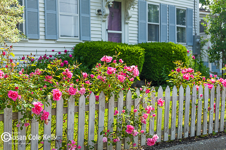 Roses in Wiscassett, Maine, USA