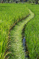 Bali, Indonesia.  Path through a Rice Paddy, south-central Bali.