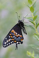 Black Swallowtail; Papilio polyxenes; resting on goldenrod; Philadelphia, PA