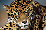 Resting Jaguar (Panthera onca), Controlled Conditions