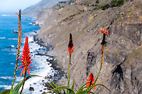 United States, California. Ragged Point is a famous ocean view spot along the Central Coast. Aloe flowers in the foreground.