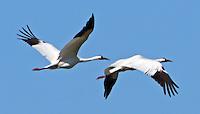 Whooping crane pair flying