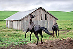 Horses prance and jump in the rain at a farm southwest of Pullman Washington, in the Palouse Country.