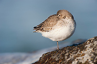 Dunlin (Calidris alpina) in basic (winter) pluamge roosting. Ocean County, New Jersey. January.
