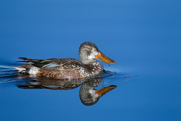 Northern Shoveler (Anas clypeata) adult, Bosque del Apache National Wildlife Refuge , New Mexico, USA