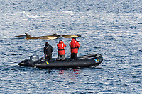 NOAA researchers John Durban and Bob Pitman, in orange jackets, trying to dart killer whale or orca, Orcinus orca, Type B orca, Gerlache Strait, Bransfield Strait, Antarctica, Southern Ocean