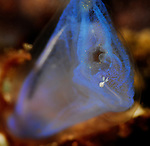 Blue Tunicate w white mickey mouse critter , Lembeh Straits, Sulawesi Sea, Indonesia, Amazing Underwater Photography