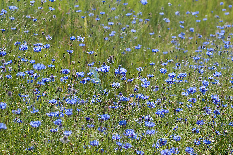 Kornblume, Korn-Blume, Centaurea cyanus, Cornflower, Bachelor´s Button