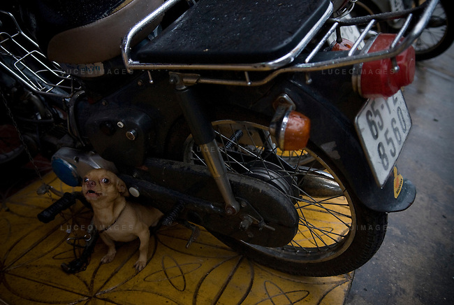 A small dog guards his owners motor bike in Ho Chi Minh City, Vietnam.