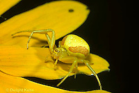 CS04-013d  Crab Spider on goldenrod - Misumena vatia