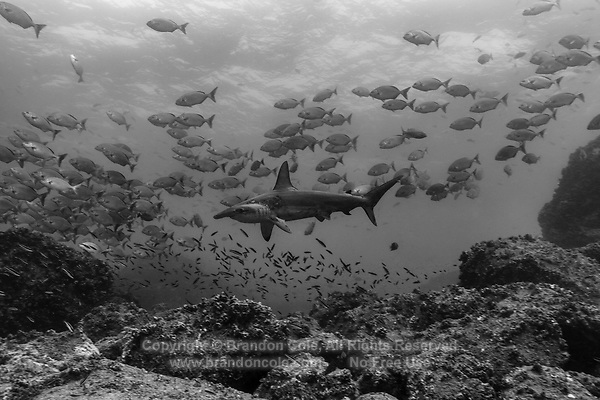 WD0797-Dbw. Scalloped Hammerhead Shark (Sphyrna lewini), lord of the Galapagos marine kingdom, here swimming through a school of chubs (Kyphosus sp.) over a rocky reef. Galapagos Islands, Ecuador, Pacific Ocean. Color photo converted to black and white.<br /> Photo Copyright &copy; Brandon Cole. All rights reserved worldwide.  www.brandoncole.com
