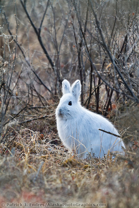Snowshoe hare in boreal forest, interior Alaska.