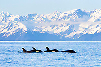 killer whale or orca, Orcinus orca, surfacing, with snow covered mountains in background, Kenai Fjords National Park, Alaska, USA, Resurrection Bay, aka Blying Sound and Harding Gateway, Pacific Ocean