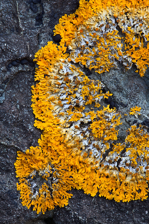 Vibrant crustose lichen on a granite boulder in Duck Harbor on Isle au Haut in Acadia National Park, Maine, USA