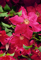 Red clematis flowers blooming in spring