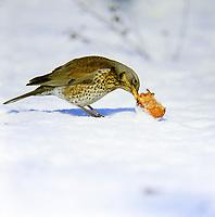 Wacholderdrossel, frisst an Apfel, Fallobst im Schnee, Wacholder-Drossel, Turdus pilaris, fieldfare, La Grive litorne