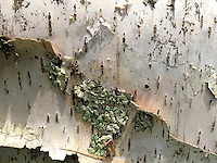 Birch Bark and Lichens, Witherle Woods, Castine, Maine, US