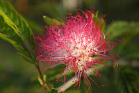 Delicate and beautiful red powder puff flower