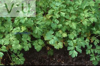 Italian Parsley ,Petroselinum crispum,