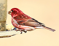 Male purple finch, these hungry birds weren't passing up black sunflower seeds.