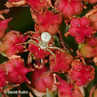 0111-07yy  Crab spider - Family: Thomisidae - © David Kuhn