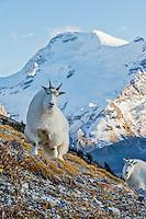 Mountain Goats (Oreamnos americanus).  Northern Rockies.  October.