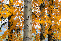Aspen leaves in the Fall.