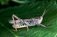 Weißrandiger Grashüpfer, Weissrandiger Grashüpfer, Chorthippus albomarginatus, Chorthippus elegans, lesser marsh grasshopper